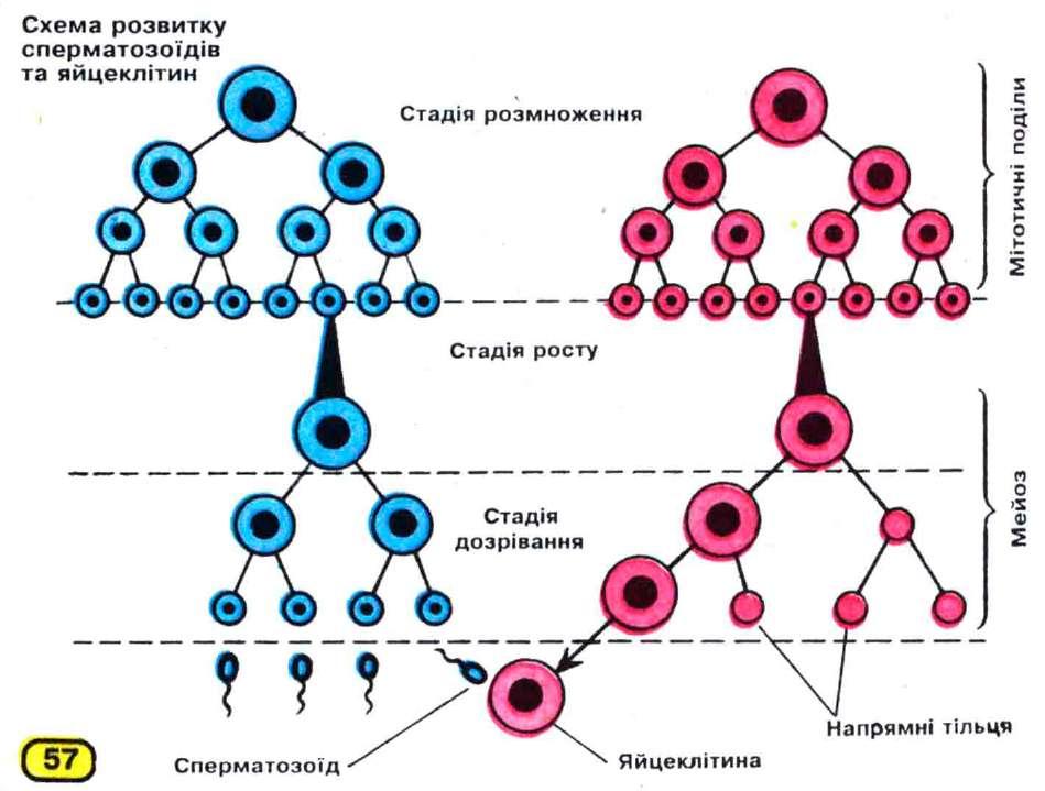 protsess-formirovaniya-spermatozoidov